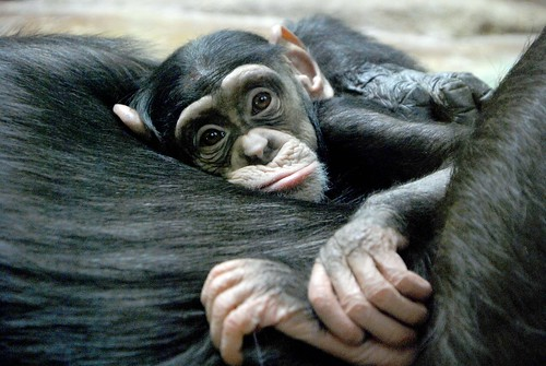 Chimpanzee | by floridapfe