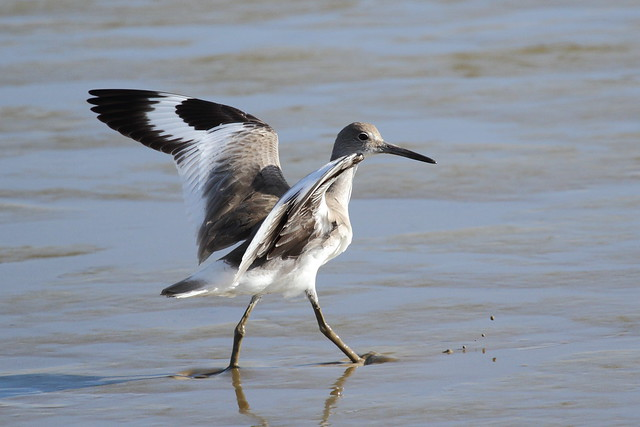 arrival of the willet!!