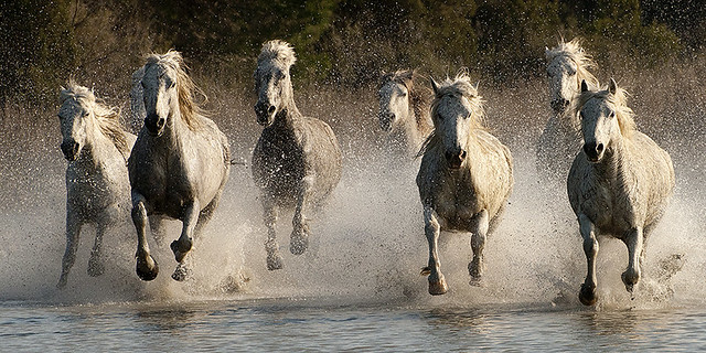 Camargue Horses Galloping Through Water