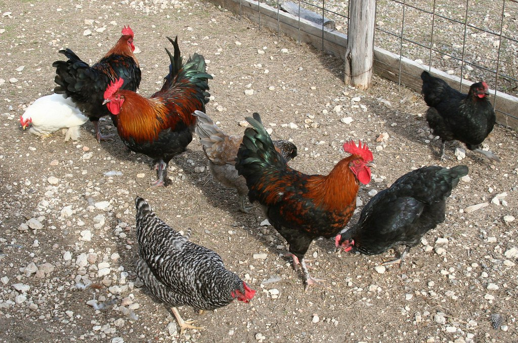 Black Copper Marans And Cuckoo Marans Chickens There Is Al