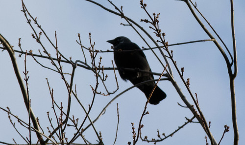 Jackdaw in a cherry tree