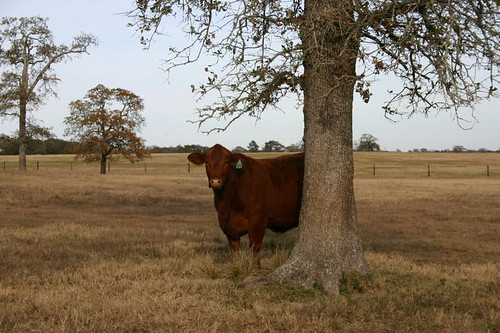 S in pasture 001   by American Red Brangus Association