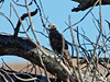Madagascar Cuckoo-Hawk, Bekitoly, Madagascar by Terathopius
