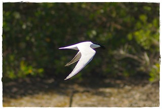 Gull-billed Tern (Gelochelidon nilotica) | by Jaime Robles M.