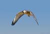 Aguilucho juvenil/juvenile variable hawk (Geranoaetus polyosoma) by Javiera C