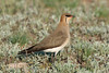 black-winged pratincole by Wildlife photos by Paul Donald