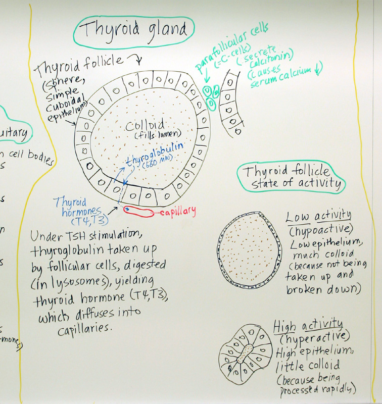 Endocrine Thyroid Gland A Hand Drawn Sketch By Dr Christ Flickr