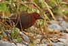 Black-banded Crake - near Archidona, Ecuador - 16 February 2012 by grallaria