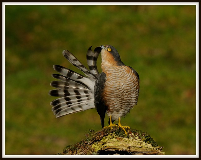 19th February 2012 Sparrowhawk (Male)