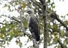 Changeable Hawk Eagle-Spizaetus cirrhatus by sail121j