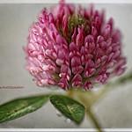 Pink flower....