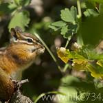 Chipmunk eating Western Meadowrue