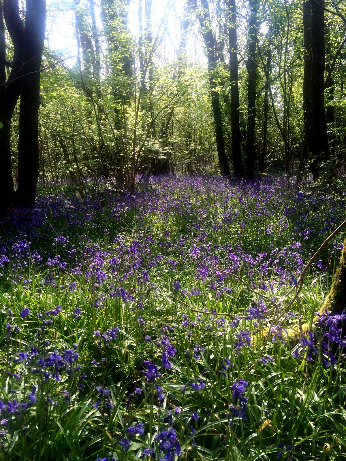 May 7, 2016: Hassocks to Lewes Bluebells in Butcher's Wood, Hassocks