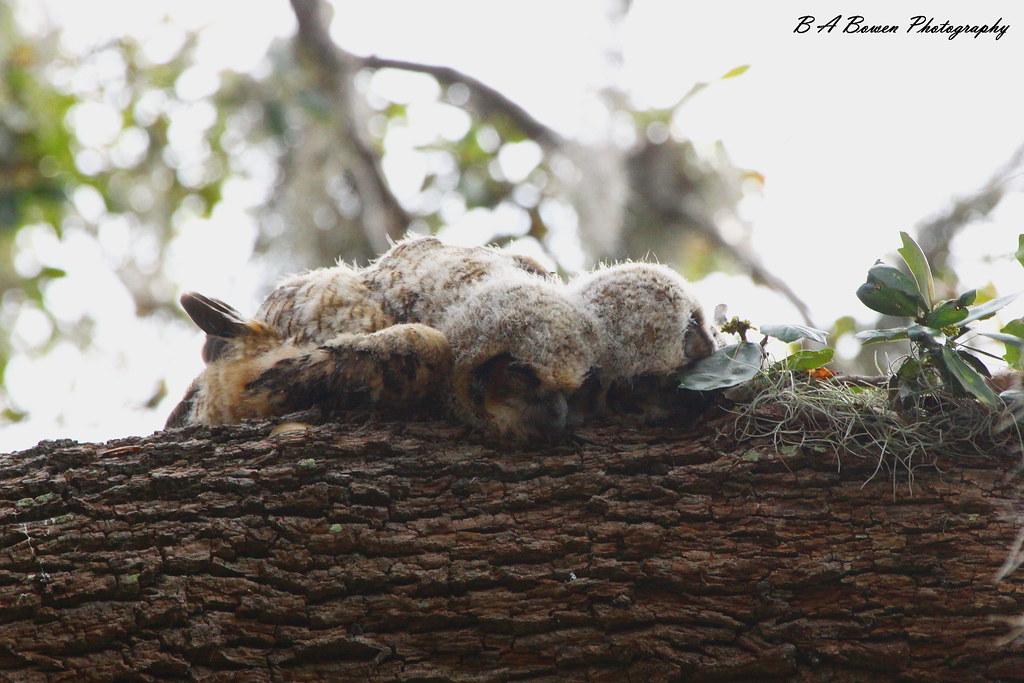Búhos bebés durmiendo