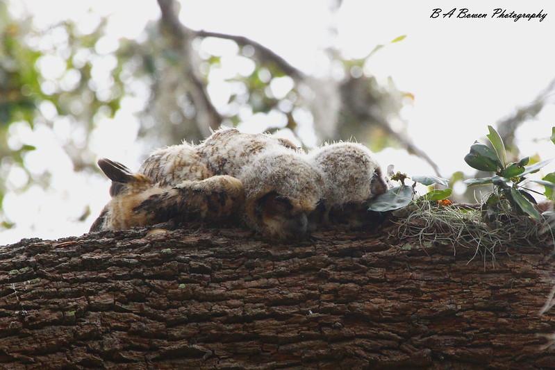 Baby owls sleeping