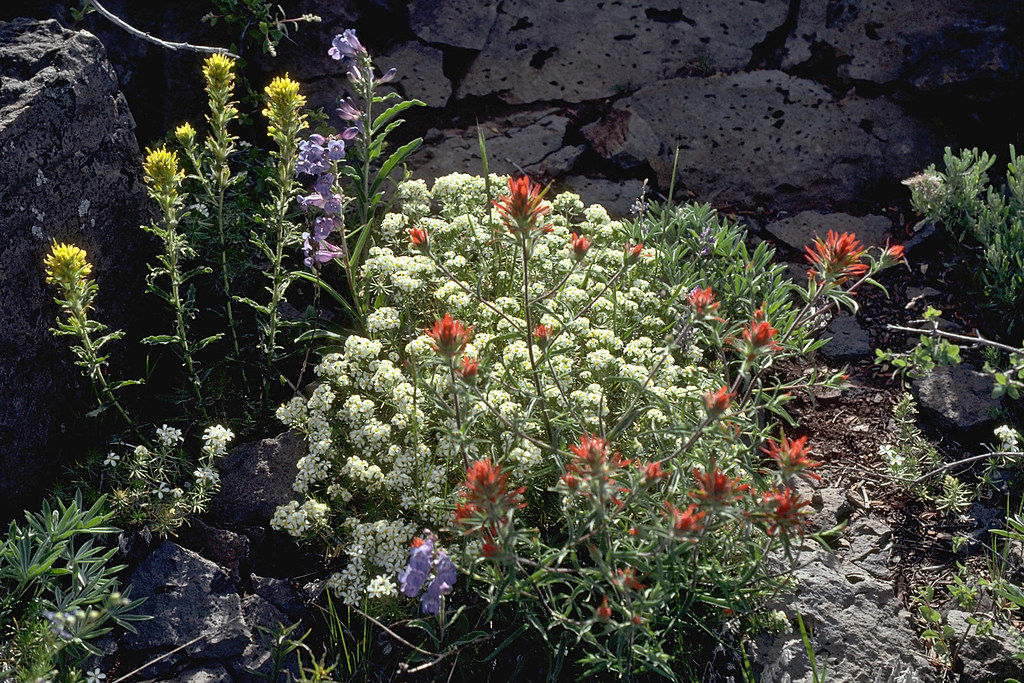 Mixed Wildflowers found in the Rooster Comb Research Natural Area on Steens Mountain, in Southeastern Oregon.
