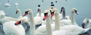 swans | by tamburix