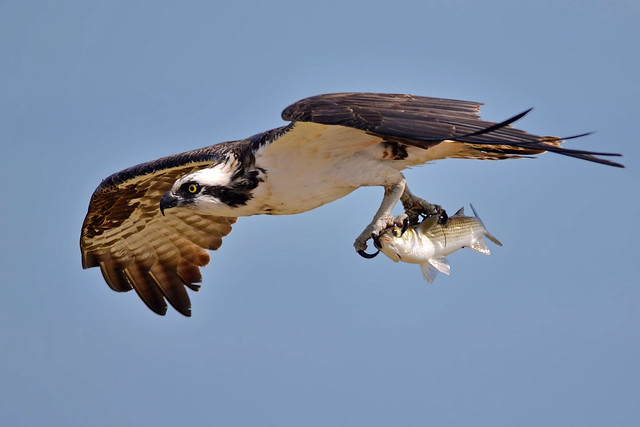 An Osprey Can Fish!