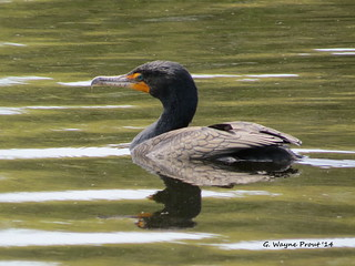 Double-crested Cormorant (Phalacrocorax auritus) - Celebration Florida U.S.A.
