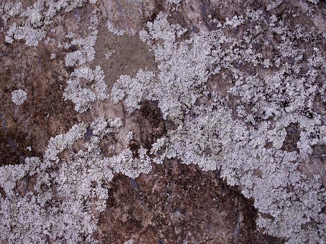 southern lichen