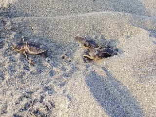 Loggerhead Turtle Hatchlings Emerge   by MyFWCmedia