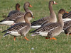 Tundra Bean Geese, Winless (Highland), 25-Feb-12 by Dave Appleton