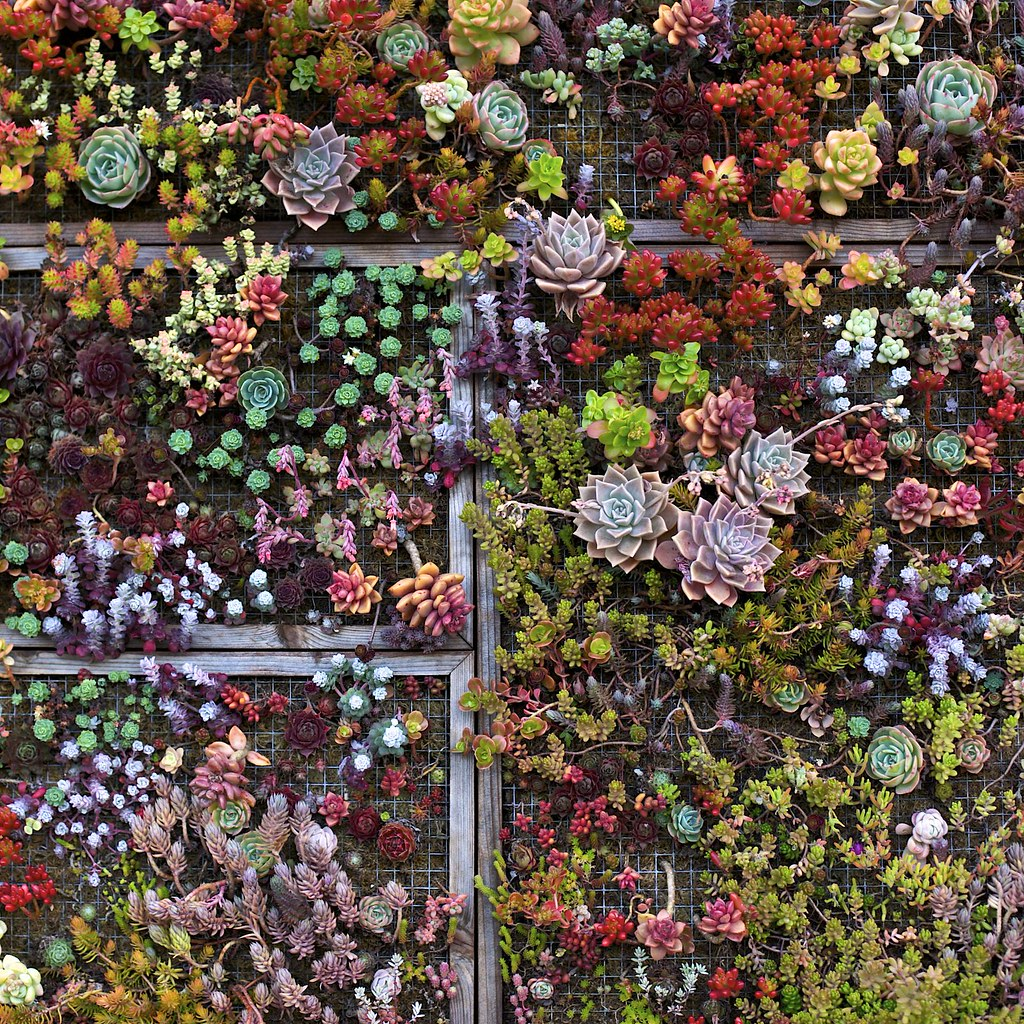 Living Succulent Art A Living Wall Of Succulents Growing A Flickr