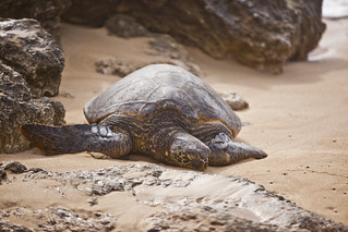 Sea Turtle on Turtle Beach Oahu, Hawaii | by Anthony Quintano
