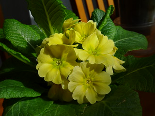 20120305 Primula acaulis - thrum | by chipmunk_1