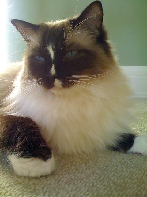Ragdoll Cat Stud