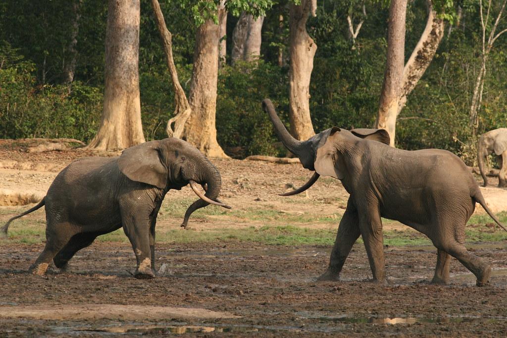 Image result for forest elephant
