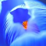 Crocus:藏红花