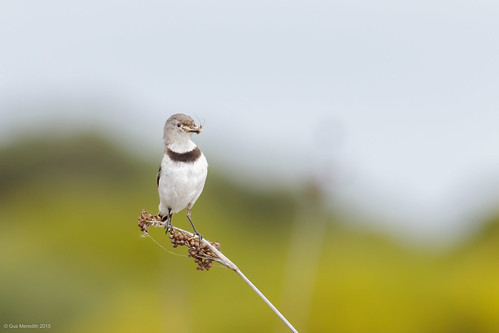 White-fronted Chat - Female | by gus.meredith