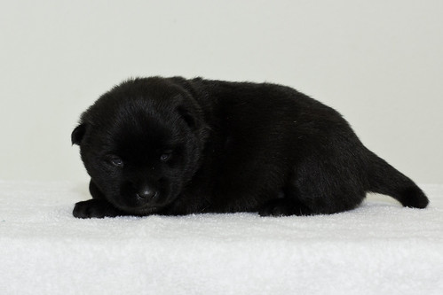 Nori-Litter3-Day17-Pup2(female)c | by brada1878