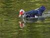 Muscovy duck (Cairina moschata), Pato Criollo, Veterans Park, Pinecrest, Florida. by pedro lastra