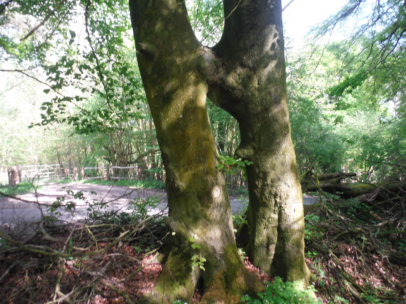 Tree near B2141 SWC Walk Rowlands Castle Circular - Extension