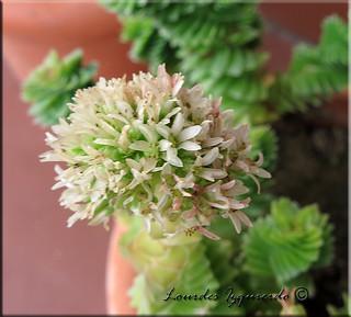 Crassula estagnol   by Succulentisima