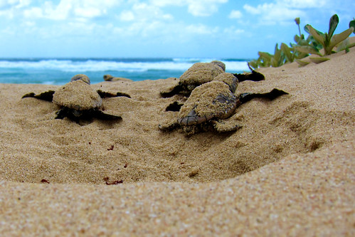 Loggerhead turtles - Mabibi | by Jeroen Looyé