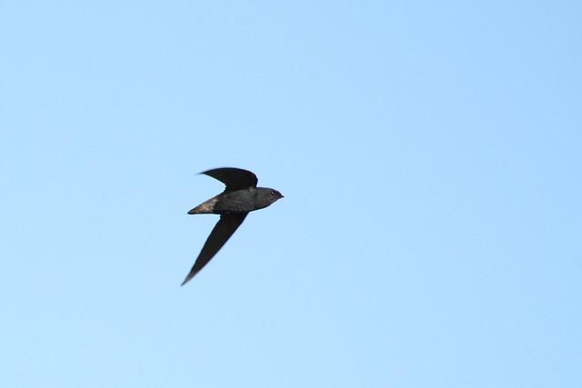 short tailed swift