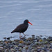 Flickr photo 'Black Oyster Catcher-Taxonomy:binomial=