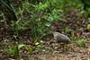 Undulated Tinamou (Crypturellus undulatus) by PeterQQ2009