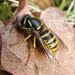 Dolichovespula saxonica (Saxon Wasp)