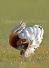 LEK Abetarda (Otis Tarda) Great bustard (male display) by jaygum_photo
