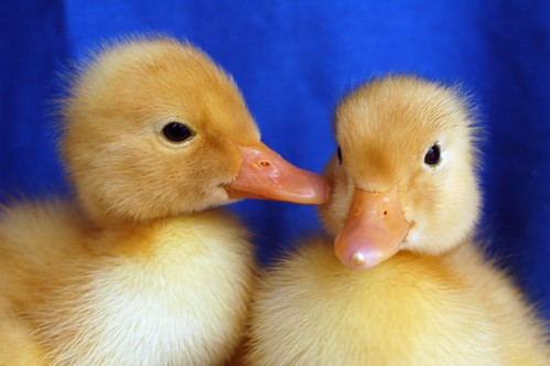 Ducklings 028 | by Cowgirl Jules