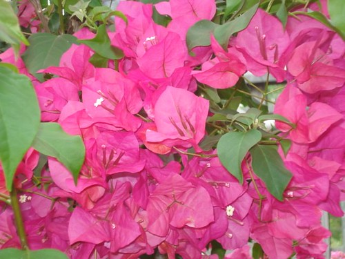 Bouganvilla | by Rose Hill Nurseries
