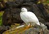 Kelp Goose by Peppar Photos