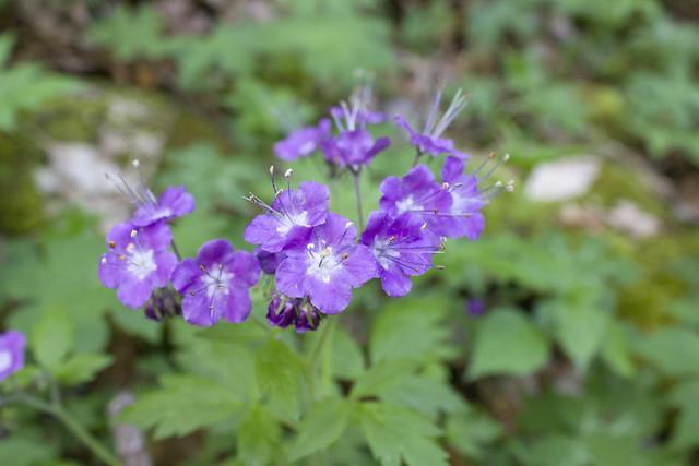 Phacelia bipinnatifida, Putnam Co, TN