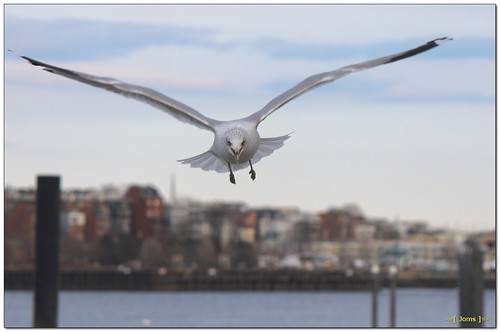 bird nature eos rebel flying inflight kiss wildlife gull t3 bif ringbilledgull x50 1100d canont3 canon1100d