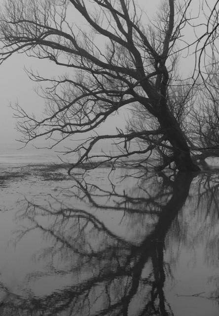 Ovale arborescent