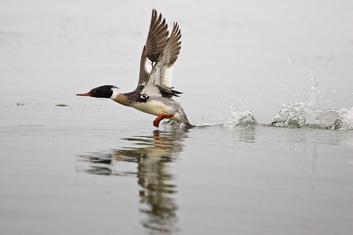 red-breasted merganser takes flight | by USFWS Headquarters